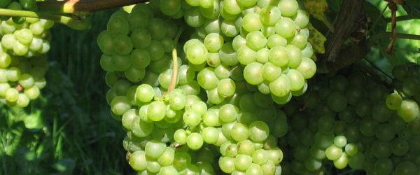 Valged viinamarjad