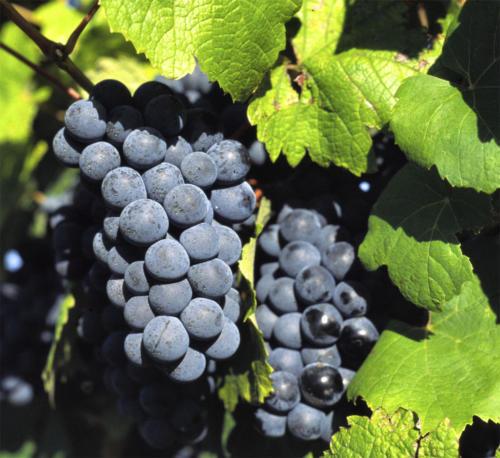 Mustjas-sinine viinamari
