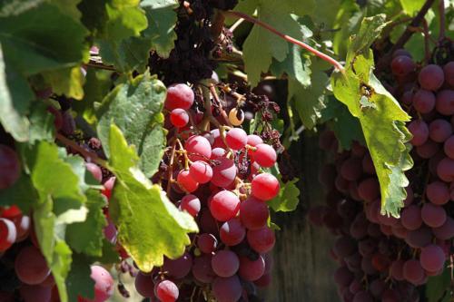 Punane viinamari